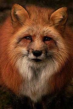 renard roux sur Lars Hoppe
