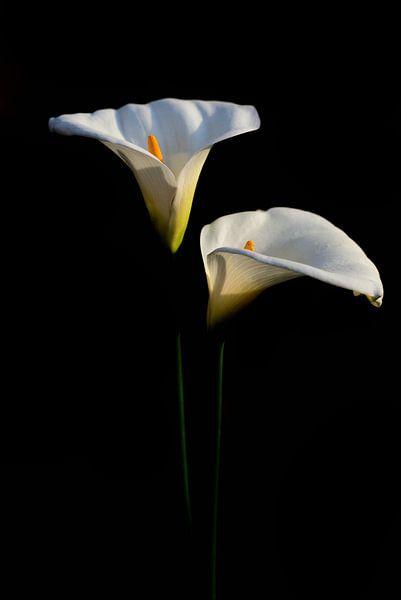 Zwei Blüten der Zantedeschia aethiopica oder Calla von Ulrike Leone