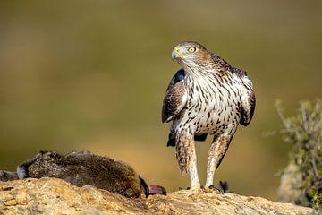 Aigle faucon (Aquila fasciata) sur Onno Wildschut