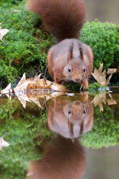 Spiegeltje spiegeltje aan de wand - Eekhoorn kijkt in de spiegel van
