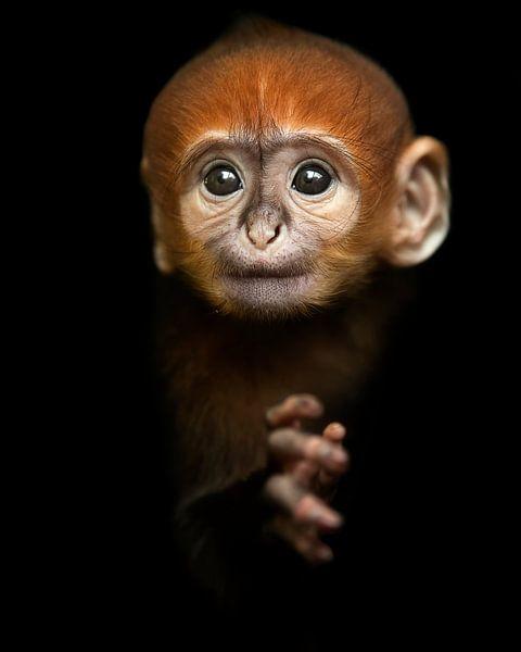 Baby Langur Affe von Patrick van Bakkum