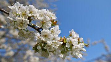 close-up van japanse kersenboom met witte bloemen van Timon Schneider