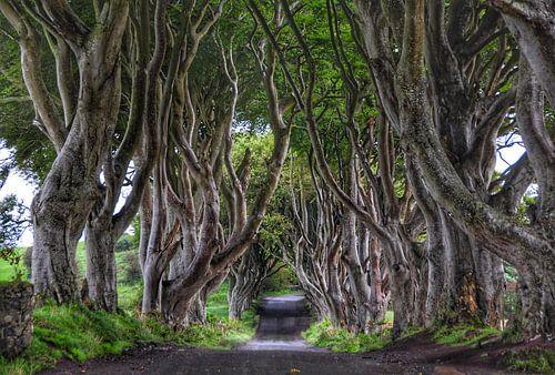 The Dark Hedges in Ballymoney, N. Ierland van