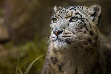Snow Leopard sur Sake van Pelt
