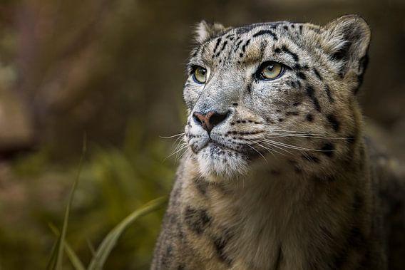 Snow Leopard van Sake van Pelt
