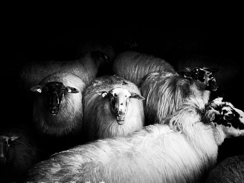 sheep van Lex Schulte
