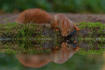 Eichhörnchen, das in den Spiegel schaut von Miranda Rijnen
