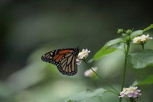 Monarchvlinder van