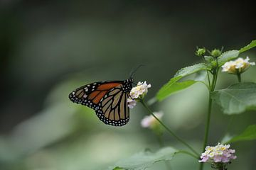 Monarchvlinder van Joost Hinderdael