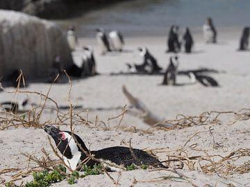 Pinguins in Zuid-Afrika van Sanne Bakker