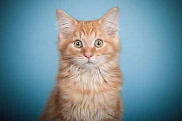 Maine Coon kitten van Lotte van Alderen