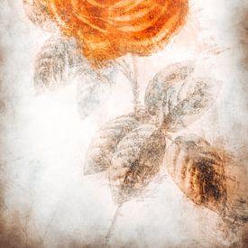 Rose van Dagmar Marina