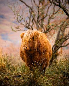 Schottischer Highlander von Ton Drijfhamer