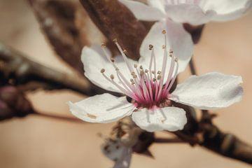 Blume des Mandelbaums von Jaimy Leemburg Photography
