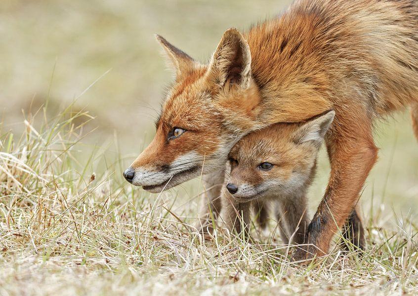 Vossen welp en moeder