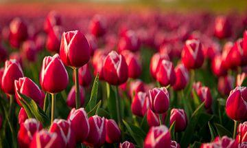 Tulpen velden in de avondzon van Van Renselaar Fotografie