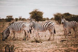Zebra in Afrika in het wild, Namibië Etosha Nationaal Park van Helena Schröder