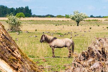 Konikpaard op de Oostvaardersplassen van Merijn Loch