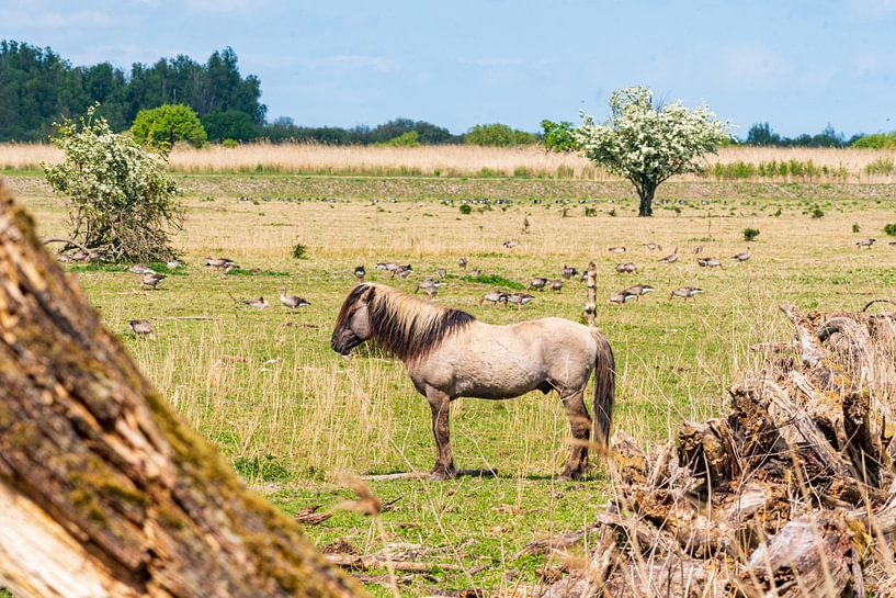 Konik-Pferd auf den Oostvaardersplassen von Merijn Loch