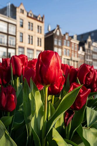 Bloeiende tulpen in Amsterdam