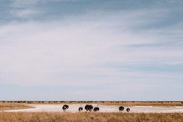 Struisvogels in Etosha, Namibië van Maartje Kikkert