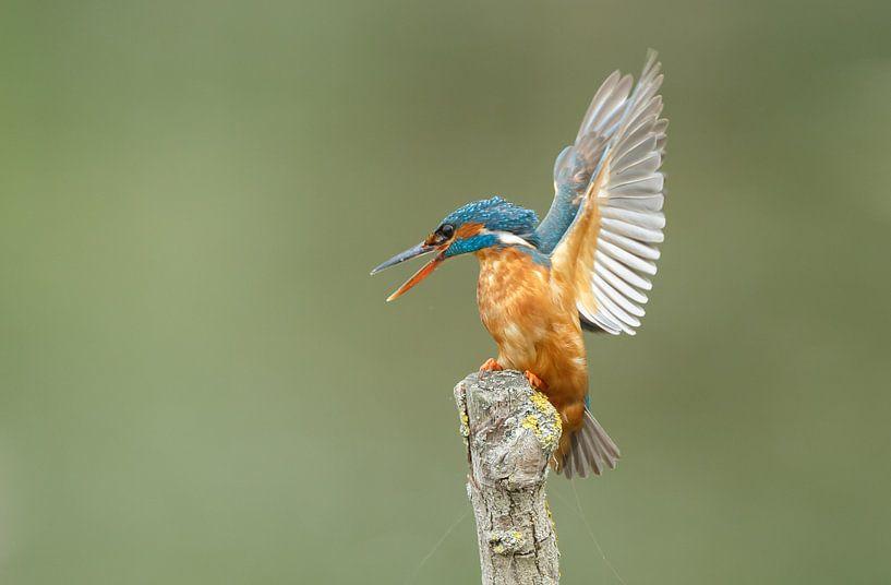 Kingfisher sur Menno Schaefer