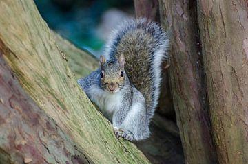 Een eekhoorn poseert spontaan van Anja Van Geert