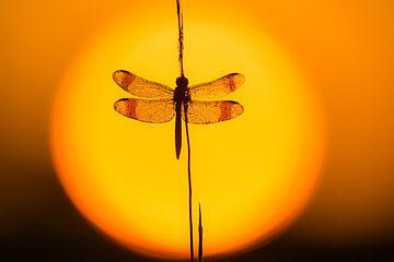 Bandheidelibel gevangen in de zon van Vincent de Jong