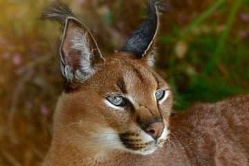 Caracal - een wilde kat van Laura Sanchez