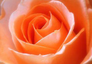 Oranje roos van