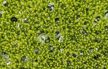Waterdruppels op mos van Daan Kloeg