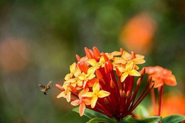 Fleur Ixora et guêpe