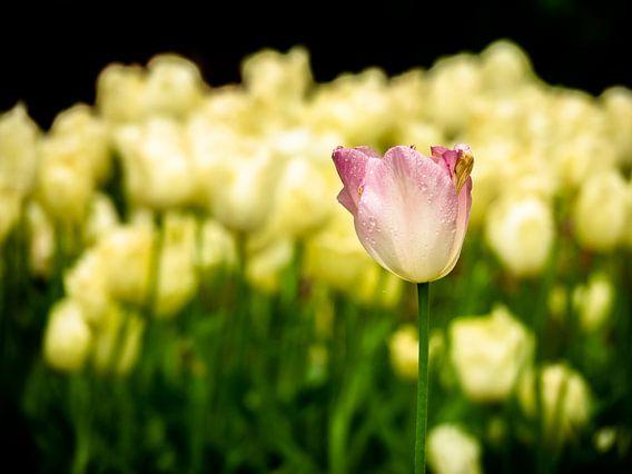 rosa/gelbe Tulpe
