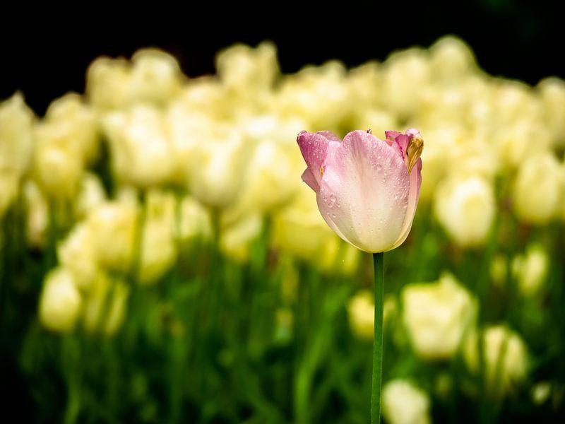rosa/gelbe Tulpe von Martijn Tilroe