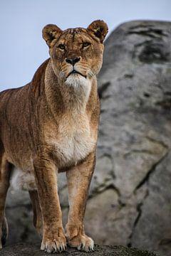 Löwin von Sylvia Schuur