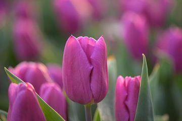 Rosa Tulpe von Barbara Brolsma