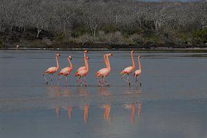 baltsende flamingo's