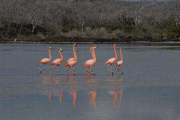 baltsende flamingo's van Jacintha Van beveren