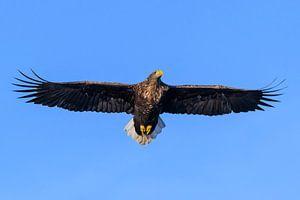 Seeadler hoch oben in der Luft fliegend