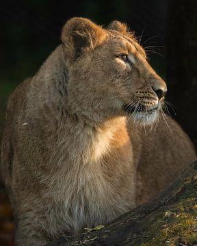 Lionceau asiatique en couleur sur Patrick van Bakkum