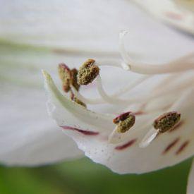 Peruanische Lilie von Anjo ten Kate