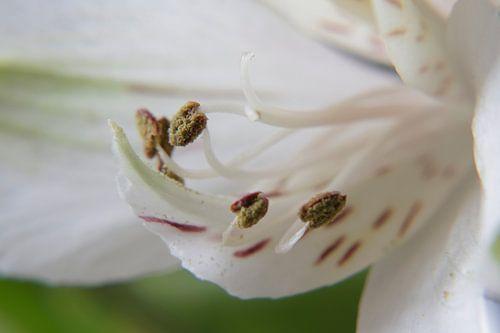 Peruanische Lilie