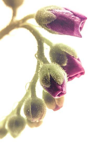 Blooming line (Drosera sp.) van Alessia Peviani
