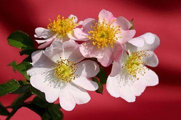 Les roses sauvages  sur Jolanta Mayerberg