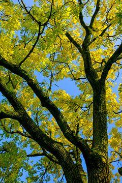 Tirage ascendant de feuilles dorées ou jaunes sur un Golden Ash Tree sur Sjoerd van der Wal