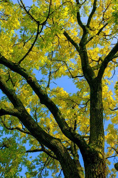 Takken met geel en goudkleurige bladeren van een Gouden Es in de herfst van Sjoerd van der Wal