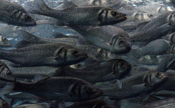 Zeebaarzen