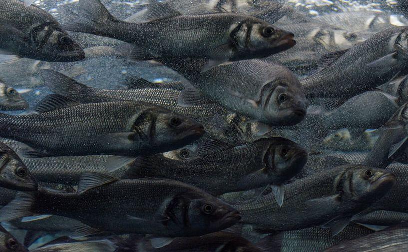 Zeebaarzen van All Individuals Animals