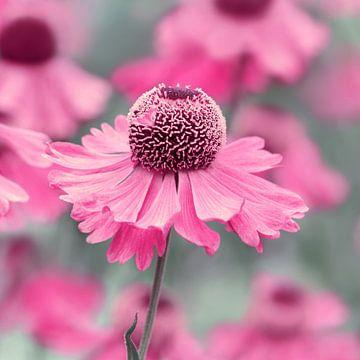 Roze van Violetta Honkisz