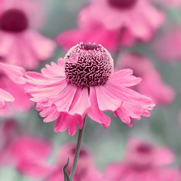 Pink  van Violetta Honkisz
